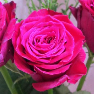 rose 赤いバラ 1