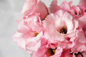 トルコキキョウ 淡いピンク