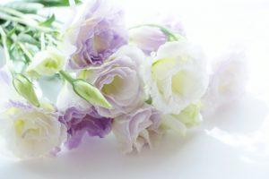 トルコキキョウ 淡い紫