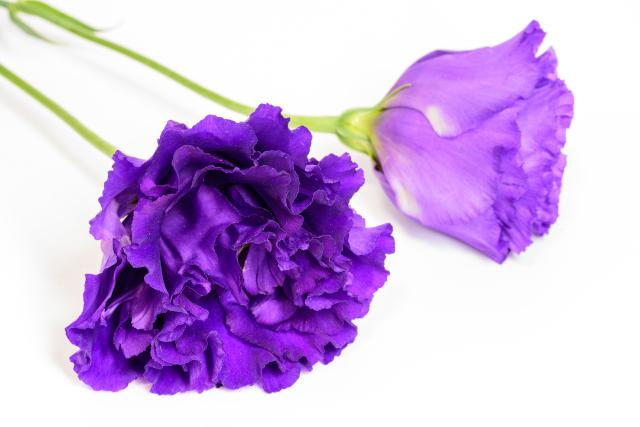 トルコキキョウ 紫